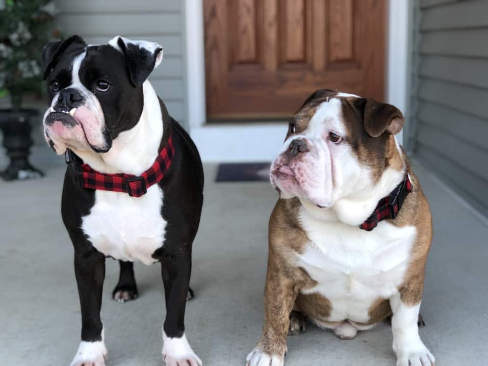 Seasonal Affective Disorder Bulldogs